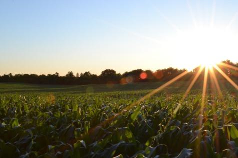corn-691634_1920 (1).jpg