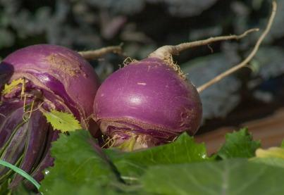 turnips-2097780_1920 (1)