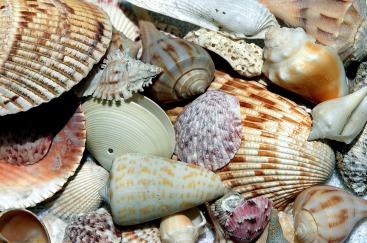 sea-shells-1886613_1920 (1)